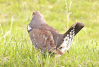 grouse in Rocky Mountains