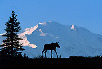 North face of 20, 3020+ ft. Mt. McKinley (locally called Denali), Moose, Denali National Park, Alaska.
