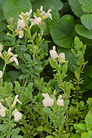 Salvia greggii 'Sungold' (pale yellow)