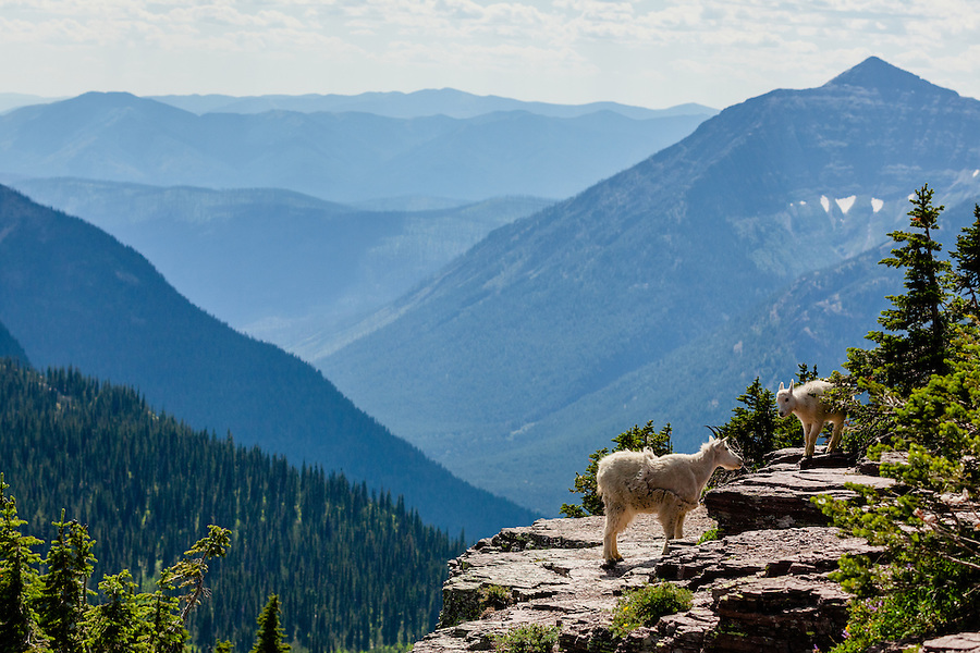 An adult mountain goat guides his young kid around the rocky cliffs near the Hidden Lake Overlook at Glacier National Park, Montana.