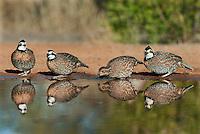 509250078 wild northern bobwhites colinus virginianus drink at a small pond on beto gutierrez santa clara ranch hidalgo county lower rio grande valley texas united states