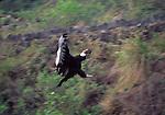 andean condor landing