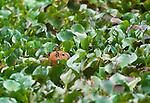 Capybara, Llanos region, Venezuela