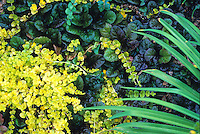Acaena microphylla 'Copper Carpet' with golden Creeping Jenny,  Lysimachia nummularia 'Aurea'