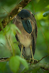 Boat-billed Heron with large eyes for hunting at night.