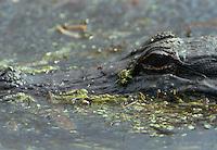 An alligator lurks in the bayou at Jean LaFitte National Park, Louisiana.