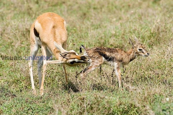 A Thomson Gazelle cleaning its newborn fawn ,Gazella thomsonii,, Africa.