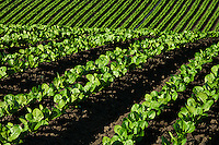 Agriculture - Rows of immature Romaine lettuce in a rolling field / Salinas Valley, California, USA.