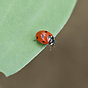 A 7-spot ladybird (Coccinella 7-punctata) on a broad-bean leaf, early June.