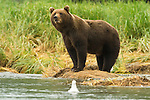 A bear pauses on the stream bank to survey its surroundings in Katmai National Park.
