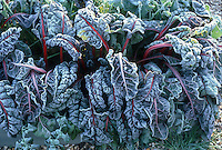 Ornamental Vegetable Ruby Chard (Beta) frosted in winter etched with ice