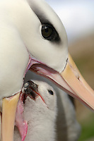 Black-browed Albatross feeding its young in the nest (Diomedea melanophris), Falkland Islands.