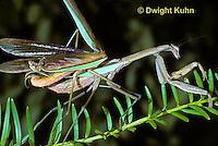 1M32-004a  Praying Mantis headless male mates with female - Tenodera aridifolia sinenesis  © Dwight Kuhn