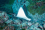 Cocos Island, Costa Rica; a Spotted Eagle Ray (Aetobatus narinari) swimming over the rocky reef