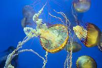 435250001 pacific sea nettle chrysaora fuscescens swim and float in their aquarium at the long beach aquarium in long beach california