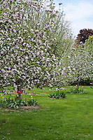 Apple trees in full flower underplanted with tulips in a lawn.