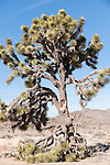 Joshua Tree National Park, California; view of a large Joshua Tree (Yucca brevifolia), near the edge of Park Boulevard, with a broken branch leaning against the trunk of the tree