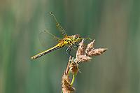 362690014 a wild female black meadowhawk sympetrum danae perches on a plant stem in mono county california