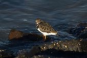 Vogels - Steenloper | Birds - Ruddy Turnstone