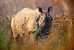 Indian rhinoceros, Royal Chitwan National Park, Nepal