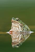 Eastern Green Toad (Bufo debilis debilis), adult in pond, Laredo, Webb County, South Texas, USA
