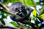 A newborn howler monkey with its mother at the Smithsonian Tropical Research Institute, Barro Colorado Island, Panama