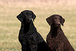 Double head study of 2 Curly Coated Retrievers in the field<br />