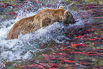 Brown bear attempting to catch one of the many salmon in the shallow water, Katmai National Park, Alaska, USA
