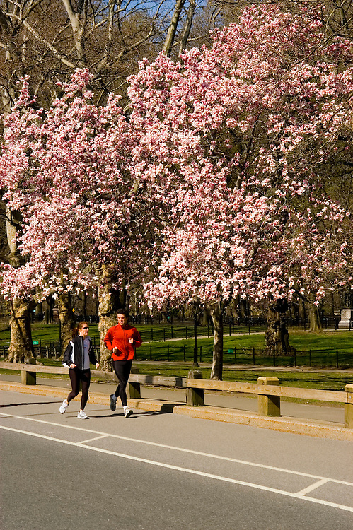 New York City, New York: Spring time with blossoms in Central Park  .Photo #: ny267-14728  .Photo copyright Lee Foster, www.fostertravel.com, lee@fostertravel.com, 510-549-2202.