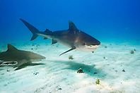 Tiger Shark, Galeocerdo cuvier, and Lemon Shark, Negaprion brevirostris, West End, Grand Bahama, Atlantic Ocean