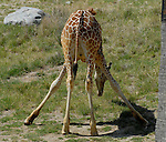 young reticulated giraffe feeding on grass