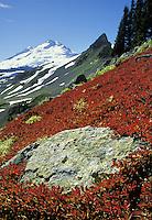 Mt Baker above red huckleberry bushes, Mt Baker National Park, Washington