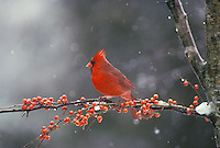 Northern Male Cardinal on holly branch during snow fall, Missouri USA