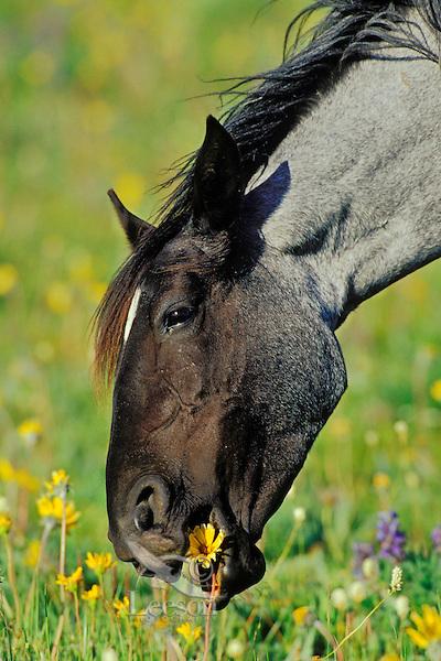 Wild Horse mare eating wild flower, Western U.S., summer..(Equus caballus)