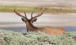 Elk<br /> Cervus elaphus<br /> Yellowstone National Park, Wyoming, USA