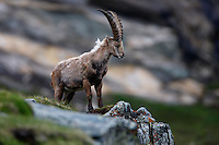 Ibex (Capra Ibex) grazing on a alpine meadow, early in the morning. Hohe Tauern National Park, Carinthia, Austria