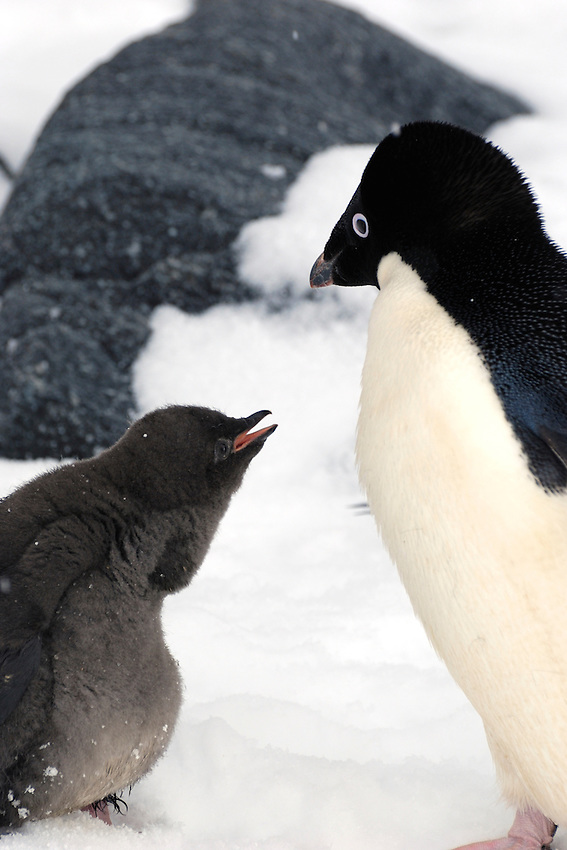 I want to tell you something - Mother (or father) with chick at Boat Harbor