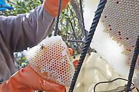 The honey comb is cut cleanly. The honey harvester leaves a bit of honey on the comb, as well as the pollen and the brood. In the day, most of the bees chased away during the harvest return to their comb. If the flowers continue to blossom, they bring honey back to the comb again and the collectors will return a week later to again harvest the honey. This semi-domestication is an ingenious means of countering the natural instinct of the giant bees, which migrate over several hundred kilometers each year and easily change nests. ///La galette de miel est coupée proprement. L'apiculteur laisse un peu de miel sur le rayon, ainsi que le pollen et le couvain. En journée, la plupart des abeilles chassées pour la récolte retourne à leur rayon. Si les floraisons continuent, elles rentreront à nouveau du miel et les collecteurs reviendront dans une semaine récolter une nouvelle fois le miel. Cette semi-domestication est un moyen ingénieur pour contre l'instinct des abeilles géantes qui migrent chaque année sur plusieurs centaines de kilomètres et changent de nid facilement.