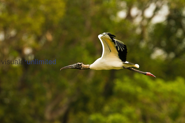 Wood Stork (Mycteria americana) soaring over wetlands,  Pantanal, Brazil, South America.