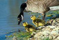 Mother Canada goose, Branta canadensis, teaches her goslings at the waters edge and they seem interested