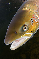 Atlantic salmon, Salmo salar<br /> River Orkla, Rennebu, Norway<br /> Model name: - Photographed at catch/release fishing.