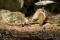 Raccoons (Procyon lotor) photographed by a camera trap.