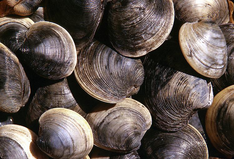 Clams, Cape Cod, Massachusetts, USA