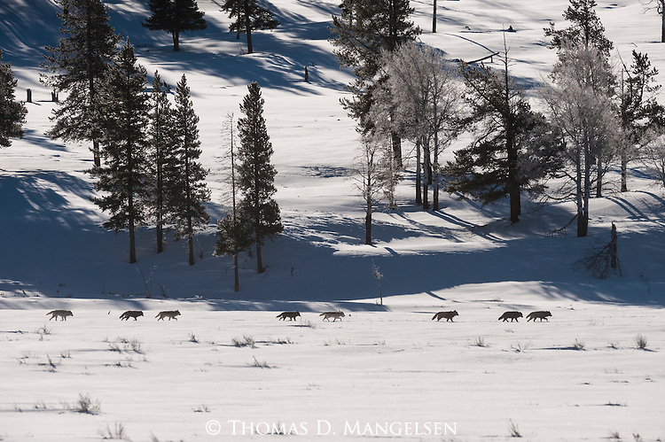 Gray wolves from the Druid pack run Lamar Valley looking for prey in Yellowstone National Park, Wyoming.