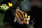 Heliconius hecale butterfly, Feeding, Ecuador South America, yellow orange and black colour.Ecuador....