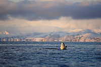 Killer whale Orcinus orca Calf Spyhopping at dawn. Tysfjord, Arctic Norway