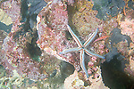 Gordon Rocks, Galapagos, Ecuador; a Blue Sea Star (Phataria unifascialis) clings to the rocky reef, along with two Coral Hawkfish (Cirrhitichthys oxycephalus) and a small Longnosed Hawkfish (Oxycirrhites typus) , Copyright © Matthew Meier, matthewmeierphoto.com All Rights Reserved