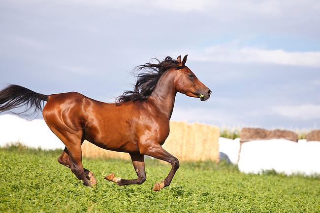 .::Ficha de Shiny::. Bay-Arabian-horse-galloping-in-fenced-pasture-MG-7490
