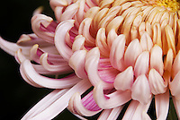 Detail of an elaborate and perfect pink ogiku chrysanthemum.