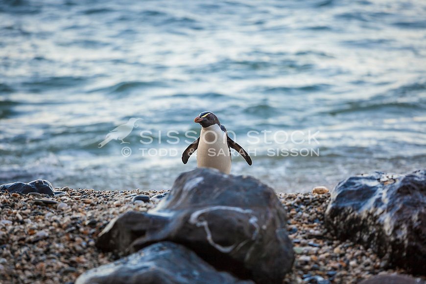 Fiordland Crested Penguin coming ashore on a rocky beach on the South Westland Coast, South Island, New Zealand - stock photo, canvas, fine art print